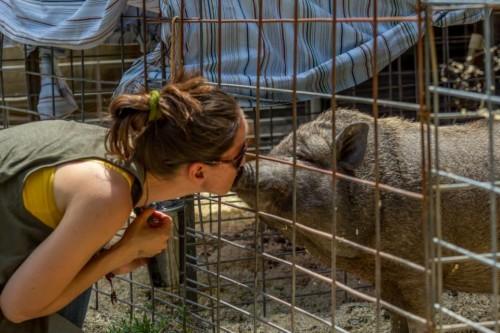 kissing a pig